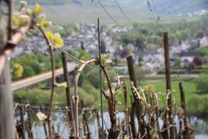 vignes printemps